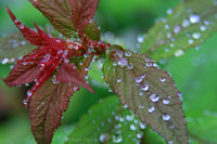 Raindrops on Spirea Leaves